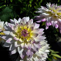 Dahlie  (21) (berndtolksdorf1) Tags: dahlie blume flower blossom pflanze plant garten blüte outdoor