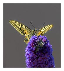 Koninginnepage (jos.pannekoek) Tags: butterfly vlinder macro sigma 200500 nikon