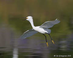 Just Coasting (pandatub) Tags: bird birds egret snowyegret lakeshorepark