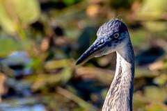 Great Blue Heron (mayekarulhas) Tags: philadelphia pennsylvania unitedstates us greatblueheron canon canon500mm canon1dxmark2 wildlife wild bird avian johnheinznaturereserve