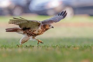 Dashing Fledgling Red-tailed Hawk