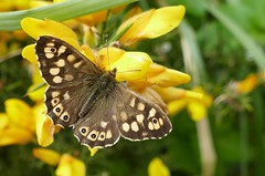 Speckled Wood -Coastal path Cornwall -230418 (2) _Explored (ailognom2005) Tags: speckledwood coastalpathcornwall cornwall butterflies butterfliesmothsandcaterpillars britishwildlife britishinsects insects britishinsectwildlife macro