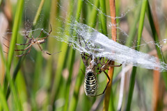 Wasp spider moulting #3 of 3 (Steve Balcombe) Tags: wasp spider argiope bruennichi female male black yellow moulting rspb arne dorset uk