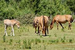 Henson horses (DirkVandeVelde back , and catching up) Tags: europa europ europe fauna frankrijk france marquenterre nordpasdecalais côtedopale cheval paard horse pferd isabelleoubaie«sauvage» bercksurmer biologie sony baiedesomme picardie zoogdieren mammalia