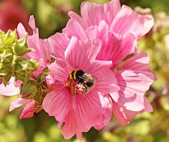 Bee (Bogger3.) Tags: bee mygarden lavateraplant pink pollen macro canon7dmk2 canon10x135lens sunnyday coth5 ngc npc