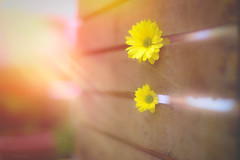 A Box of Sunshine... (KissThePixel) Tags: petals petal daisy yellow yellowflower summer sunlight sunset sunshine sun sunbeam nikon stilllife box wood flower flowers tabletop light macro bokeh garden nikond750 50mm