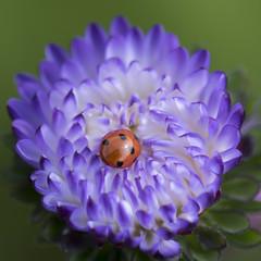 Swimming pool *** (Titole) Tags: ladybug ladybird titole asterdechine chinaaster reinemarguerite purple squareformat nicolefaton storybookwinner