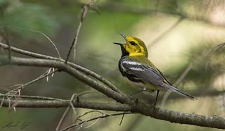 Paruline à gorge noire // Black-throated green Warbler