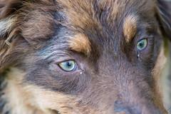 Close-up of Otis (A.Bruhin) Tags: uster zürich schweiz ch otis aussie australian shepherd closeup nikon outdoor gooddog 105