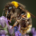 Bumblebee on Lavender (Paul A Wiles) Tags: macro