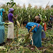 Workers harvesting green maize