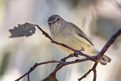 Weebill 2018-07-14 (7D_182A8147) (ajhaysom) Tags: weebill smicrornisbrevirostris woodlandshistoricpark greenvale melbourne australia australianbirds canoneos7dmkii tamron150600mmf563divcusdg2