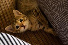 the gaggle (jillian rain snyder) Tags: kitten kittens cat litter cats pets pet animal animals animalportrait babyanimal cute cuteanimal ears baby fluffy gainesville florida fl