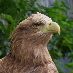 Eagle (kvartem) Tags: outdoor zoo zoobotanicalgarden fujifilm xa10 lion lioness eagle russia tatarstan kazan россия татарстан казань зоопарк зооботаническийсад орел