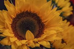 Sunflower ... 🌼 (Julie Greg) Tags: flower flowers fujifilmxt20 fujifilm nature colours texture sunflower