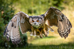 European Eagle Owl (WhitcombeRD) Tags: gloucester eagleowl eurasian owl europeaneagleown large european birds hunter owls male barn flight predator huge low silent wingspan eurasia raptor flying eagle