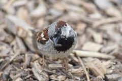 Sparrow (Nina_Ali) Tags: sparrow depthoffield nina ali ninaali