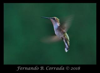 Ruby-throated Hummingbird (2323)