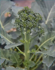 Broccoli (Happy Autumn Everyone!!!) Tags: fromthegarden produce food edible gardening broccoli raw organicandgmofreeproduce