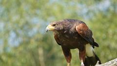 Wildpark Rheinböllen (Micha Wolf) Tags: tiere animals wildlife zoo tierpark rheinböllen vogel raubvogel falke wildparkrheinböllen