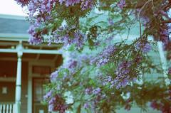 Purple Tree (H Polley) Tags: expiredfilm expired rollfilmweek rollfilm kodak gold film alameda dusk twilight
