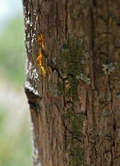 GOLDEN TEARS (LitterART) Tags: harz tear träne pinie pine nikon d800 resin gold golden