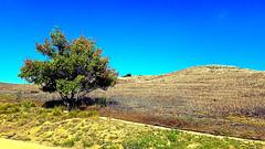 Mexican Elderberry (EmperorNorton47) Tags: irvine california photo digital summer knoll hills quailhill mexicanelderberry trees cityofirvineopenspace