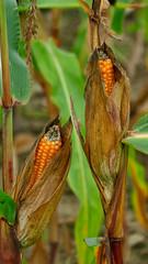 Buelach_15_20092016_15'21 (eduard43) Tags: natur nature früchte gemüse 2016 bülach mais maiskolben corncob