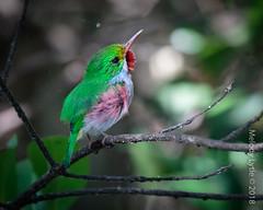 Cuban Tody - endemic (karenmelody) Tags: animal animals bird birds coraciiformes cuba cubantody todidae todusmulticolor vertebrate vertebrates zapatapeninsula
