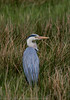 Grey Heron - (Ardea cinerea) 'Z' for zoom (hunt.keith27) Tags: ardeacinerea greyheron topsham tall with long legs beak grey black white feathering neck stretched out bent bird water huge fish swallow animal