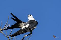 Swallow-tailed Kite (fernaabs) Tags: swallowtailed kite elanoides forficatus gavilántijerilla tijerilla elaniotijereta accipitriformes accipitridae aves fernaabs burgalin avesdecostarica