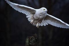 Snowy Owl on a Rainy Day (NicoleW0000) Tags: snowyowl owl bird wild wildlife nature flight rainyday ontario canada
