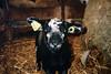 (michel nguie) Tags: michelnguie agneau lamb black pet blacklamb film analog portrait eyes flash ferme blacksheep