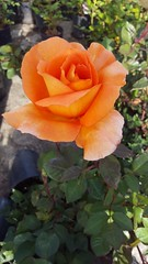 In the rose garden 9 (navarrobi) Tags: rosa rose flor flower orange