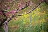 peach blossom and rape flower (kasa51) Tags: peachblossom tree rapeflower pink yellow green orchard yamanashi japan 花 桃 菜の花 桃源郷
