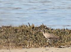 Whimbrel at Sandy Hook, lifer (Tombo Pixels) Tags: whimbrel sandyhook180479 bird earthday nj newjersey twb1 audubonwalk lifer