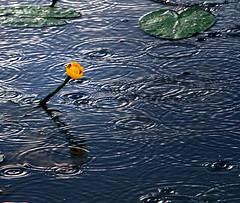 The pleasure of the rain (Robyn Hooz) Tags: rain pioggia ivy lily circles cerchi gocce padova canali canals poesia pleasure dannunzio