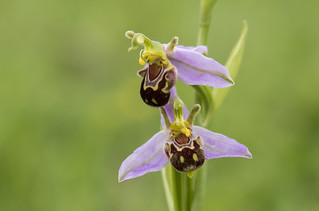 Bee Orchid (Ophrys fuciflora).