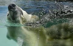 Cooling Down (louise peters) Tags: polarbear ijsbeer sizzel zoo dierentuin blijdorp rotterdam snuit nose neus snout animal mammal dier zoogdier water bubbles coolingdown afkoelen