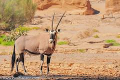 DSC_8833-2 (paul mariano) Tags: paulmarianocom paul mariano allrightsreserved namibia wildlife photography animals africa