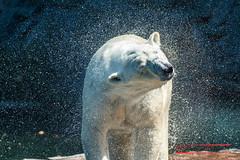 Shake it Baby! (Thoober) Tags: zoogelsenkirchenzoomtiereeos70d polarbear eisbär tropfen drops water wasser zoom gelsenkirchen zoo tier animal 70d tamron150600 white bär summertime