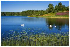 Svanefamilien (Krogen) Tags: norge norway norwegen akershus romerike ullensaker nordbytjernet svaner swans krogen fujifilmx100