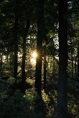 I can see the sun between the trees (Sven Bonorden) Tags: forest wald bäume trees sonne sun green grün nature natur licht schatten light shadow gegenlicht