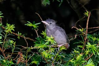 Gray Catbird - DEL_3200-LRwm