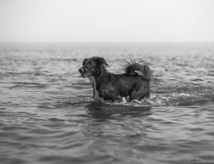 Bruno (piano62) Tags: dogs dogrescue mansbestfriend unconditionallove fun handsome lakemichigan chicago summer2018 blackandwhite monochrome portrait sonya7rii sony85mmf18