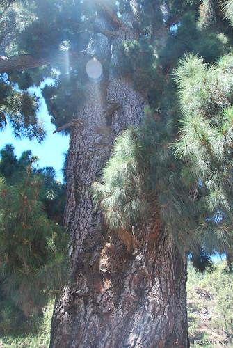 Найстаріша канарська сосна, Тенеріфе, Канари  InterNetri  18