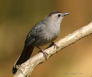 Moqueur chat \ Gray Catbird