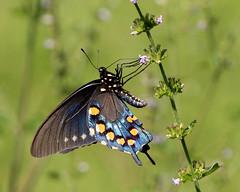 Pipevine Swallowtail (Battus philenor) (Mary Keim) Tags: taxonomy:binomial=battusphilenor centralflorida marykeim rockspringsrunstatereserve