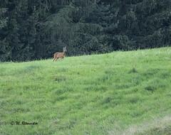 reegeit / Cervus capreolus female (m.ritmeester) Tags: ngc naturelovers natuur oostenrijk tirol gnadenwald wattens ree groen bruin bomen gras bos