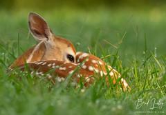 Whitetail Fawn (Brad Lackey) Tags: fawn whitetail deer baby young newborn ungulate spots grass field sunlight sunrise warmlight wildlife eyesopen inthefield berrycollege rome georgia nikon200500mm d7200